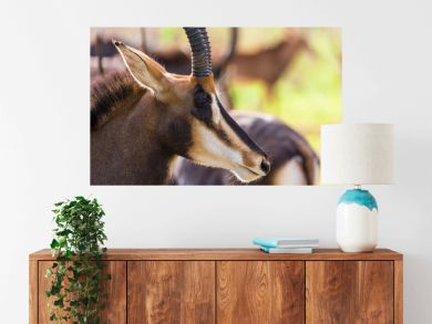 Sable antelope herd and portrait in South Africa