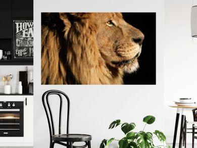 Big male African lion (Panthera leo)
