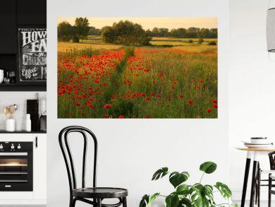 field of poppy