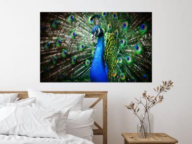 Beautiful peacock