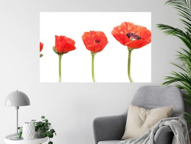 Red Poppies in a row. Isolated on white