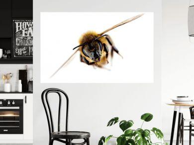 Western honey bee in flight, with sharp focus on its head