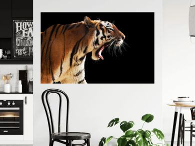 Wild tiger roaring. Isolated on black, easy for cut out.