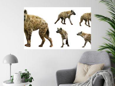 Set of  hyenas. Isolated  over white background