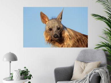 Brown hyena portrait, Kalahari desert