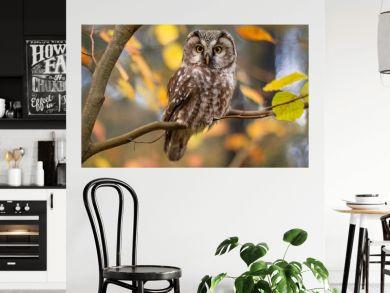 boreal owl in autumn leaves