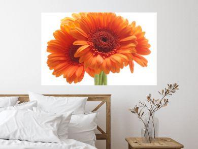 Orange gerbera flowers isolated on white background