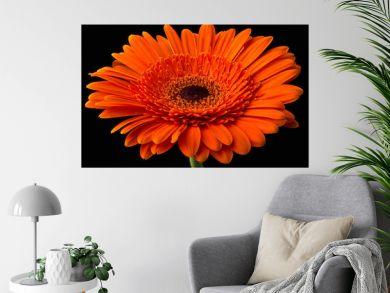 Orange gerbera with stem isolated on black background