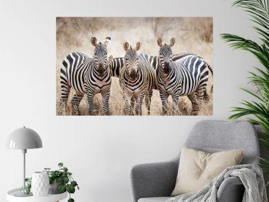 Zebras (Equus burchellii)