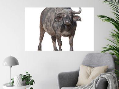 African Cape Buffalo Isolated