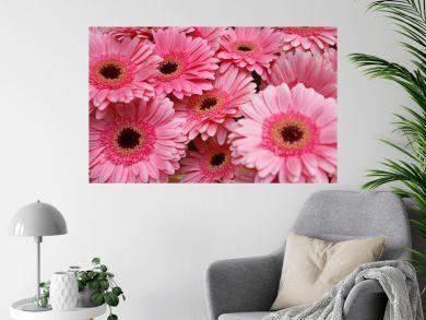 Pink gerbera flowers close up.