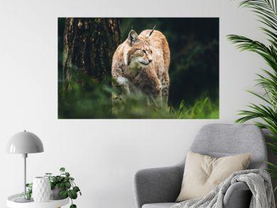 Eurasian lynx (lynx lynx) walking in grass in forest.