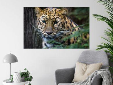 Close up of an Armur leopard
