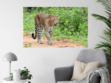 Leopard walking on a sand road. The Sri Lankan leopard