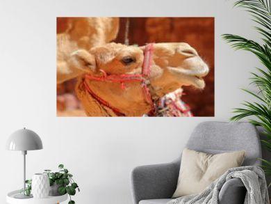 Portrait of camels in Petra, Jordan, Middle East