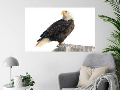 Bald Eagle (Haliaeetus leucocephalus). Isolated on white