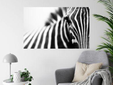 Close-up encounter with zebra on white background