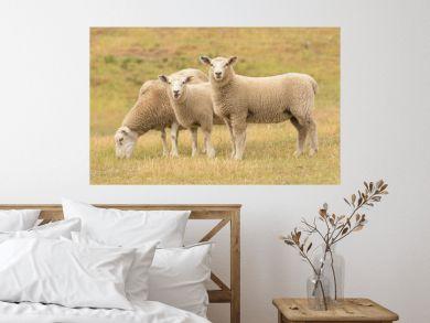 Cute baby sheep over dry grass field, farm animal