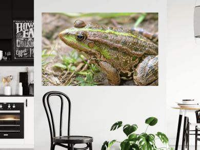 The marsh frog (Pelophylax ridibundus belongs to the family of true frogs) in the mud