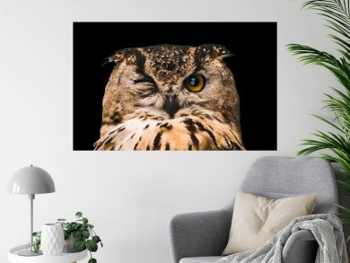 The horned owl with one open eye. Isolated on a black background.