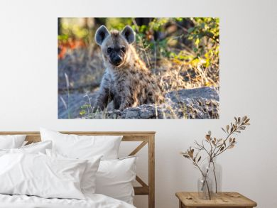 Stripped hyena, Botswana Africa wildlife