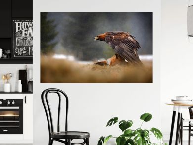 Golden Eagle feeding on killed Red Fox in the forest during rain and snowfall. Bird behaviour in the nature. Feeding scene with big bird of prey, eagle with catch, Poland, Europe.