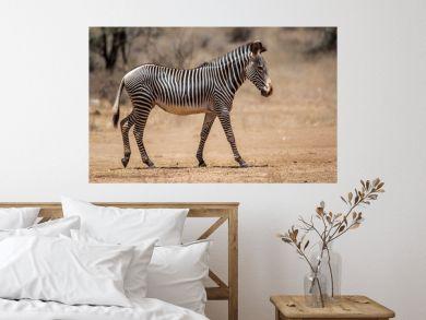 Gerevy zebra in the dry Samburu National Park in Kenya