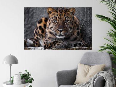 look brutal, lying Amur leopard, powerful motley big cat looks straight through the eyes of a predator.