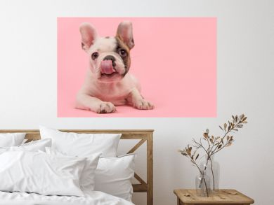 Cute french bulldog puppy lying down on a pink background licking its nose