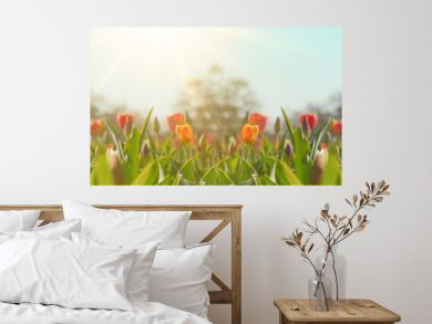 Panoramic landscape of blooming tulips field illuminated in spring by the sun