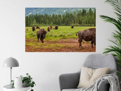 Panorama Herd of American Bison or Buffalo Panoramic Web Banner