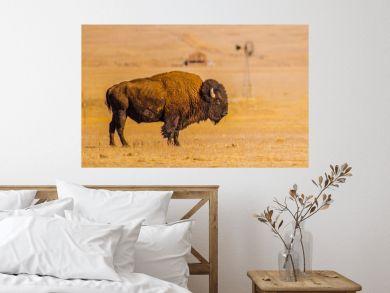 American Grassland Bison