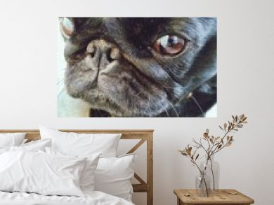 Close-up Of Black Pug Dog