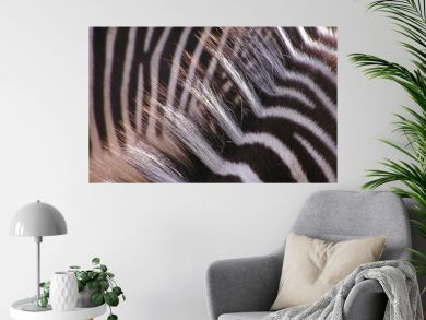 zebra – hair with sunlight