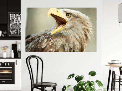Sea eagle with open beak, eagle, Haliaeetus albicilla