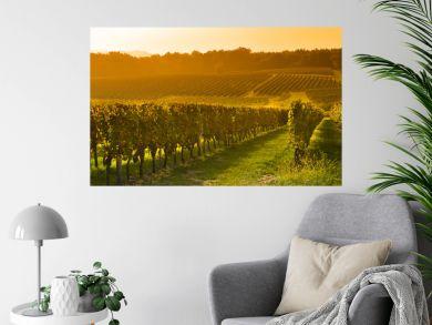 Vineyard Sunrise - Bordeaux Vineyard