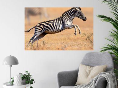Zebra running and jumping