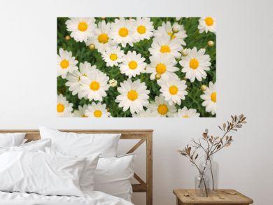 Magic sunny daisy flowers background