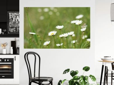 white daisy flower spring season