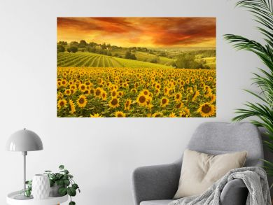 sunflowers field in the italian hill at sunset