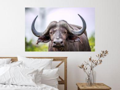 Cape buffalo starring at the camera.