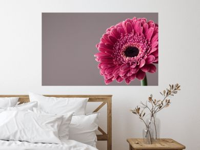 Beautiful gerbera daisy flower in water drops. Greeting card for birthday, mother or womans day. Macro. Vintage style..