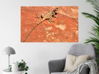 An Agama lizard in Petra, Jordan, Middle East