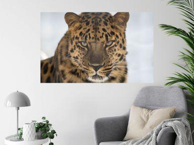 Portrait of the far Eastern leopard