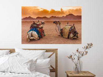 Two camels are in the Sinai Desert, Sharm el Sheikh, Sinai Peninsula, Egypt. Orange beautiful sunset above mountains