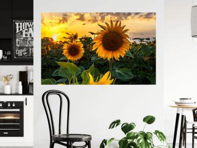 Summer landscape: beauty sunset over sunflowers field. Panoramic views