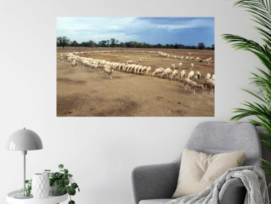 Lightning Ridge in the far north west of NSW, Australia. stock being hand fed with corn every day during a drought...