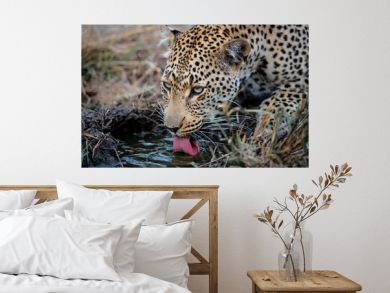 leopard female drinking in Sabi Sands Game Reserve in the Greater Kruger Region in South Africa