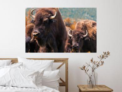 American Bison or Buffalo Panorama Web Banner