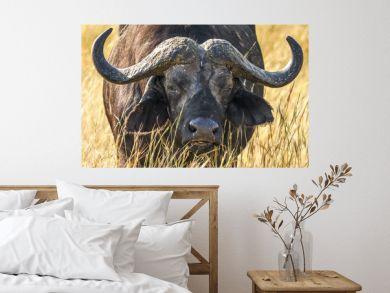 African buffalo portrait (Syncerus caffer)